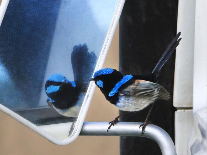 Blue wren on wing mirror of Toyota HJ40